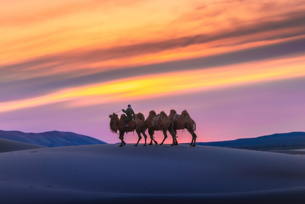 Camel going through the sand dunes on sunrise, gobi desert mongolia.