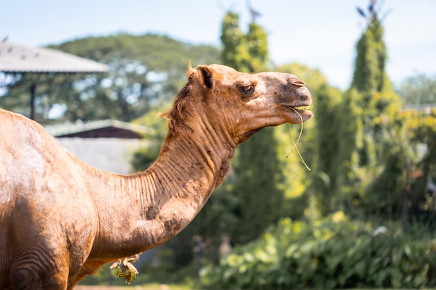 Camel head is eating grass in national park