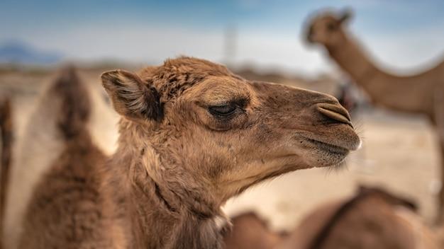 Camel on hot desert