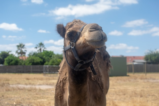 Camel in the hot summer day