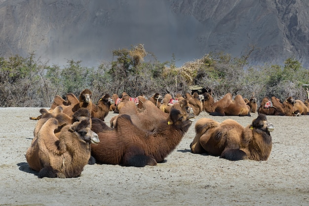 Camel in hunder sand dunes with daylight