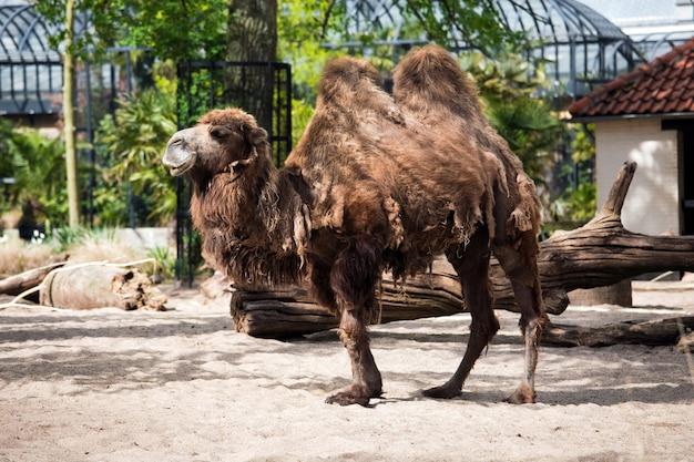 オランダ、アムステルダム動物園のラクダ