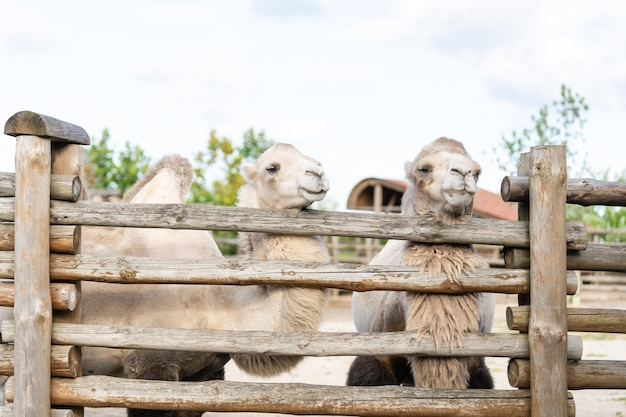 動物園の鳥小屋のラクダ