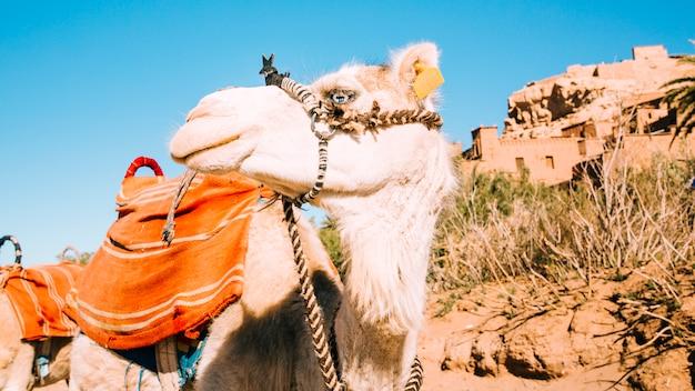 사막에서 낙타