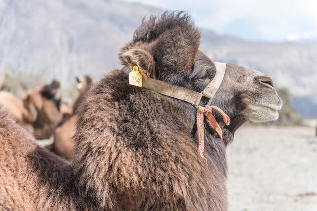 Верблюд в песчаных дюнах с дневным светом