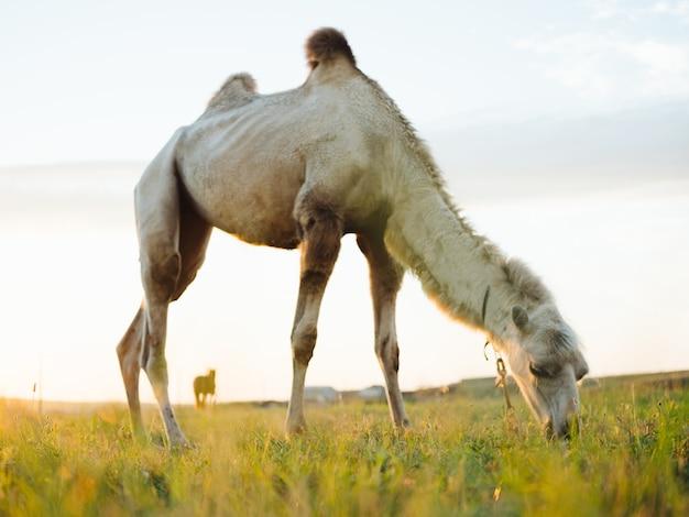 フィールドのラクダ緑のフィールド風景自然哺乳類