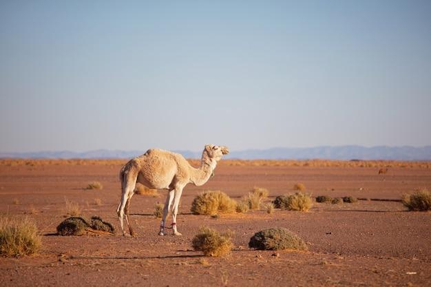 수단, 아프리카의 따뜻한 사막에서 낙타. 개념 여행 배경입니다.