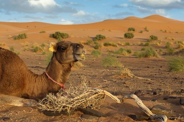 Camel lies in the sahara desert