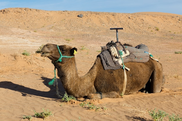 Camel lying on the sand