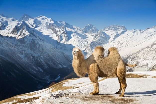 Camel in the mountains