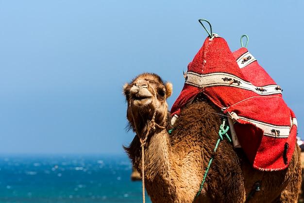 Camel in ocean