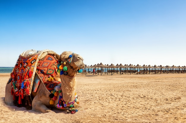 Camel resting on the beach of egypt.