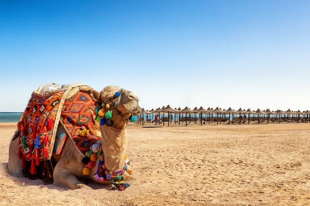 エジプトのビーチで休んでいるラクダ。