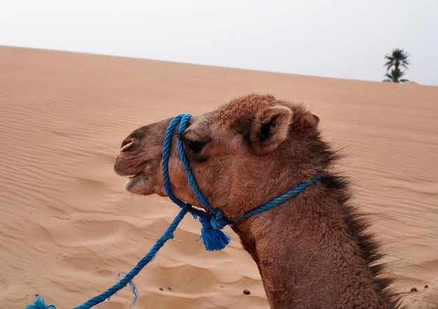 Поездка на верблюдах в эрг-шебби, марокко