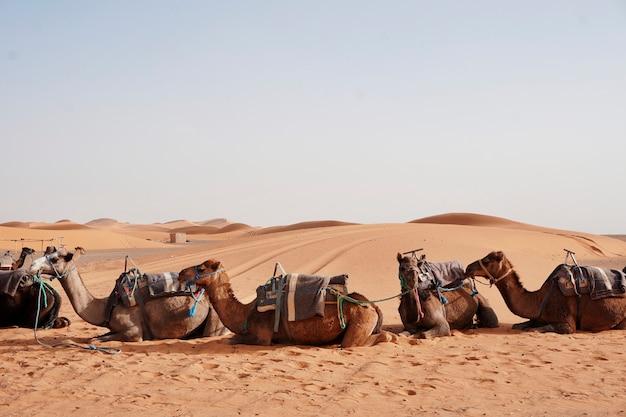モロッコのergchebbiでラクダが乗る