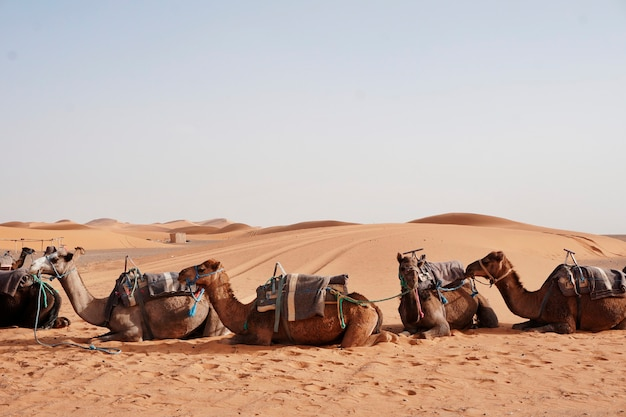 Gite in cammello a erg chebbi, marocco
