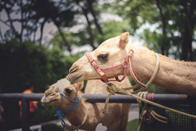 Camel's smiling face