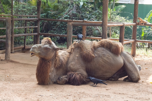 Camel sitting down and sleep in the zoo of thailand