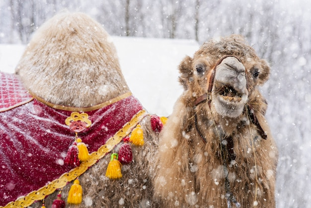Camel in the snow in harness. close up photo of camel face