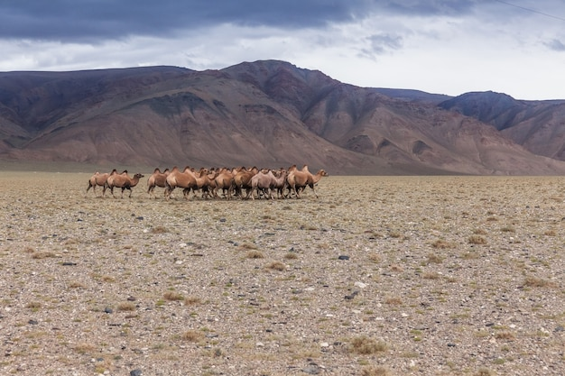 Camel team in steppe with mountains in the background. altai, mongolia