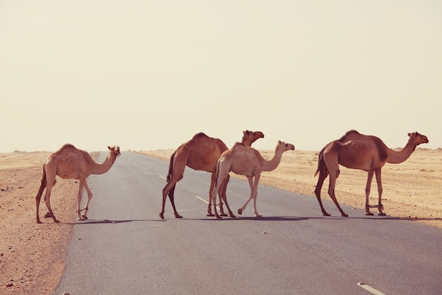 Camel in warm desert in the sudan, africa. conceptual travel background.
