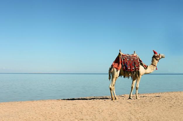 Верблюд в рождественской шапке гуляет по белому песку на пляже в египте в шарм-эль-шейхе