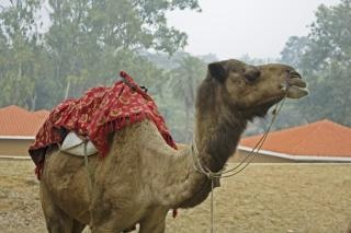 Camel with mount for riders