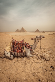 A camel with pyramids background in giza