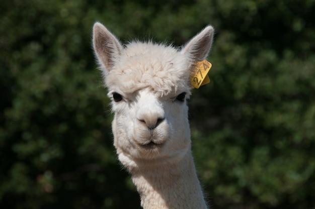 Camelid alpaca волокно ферма верблюды прекрасный