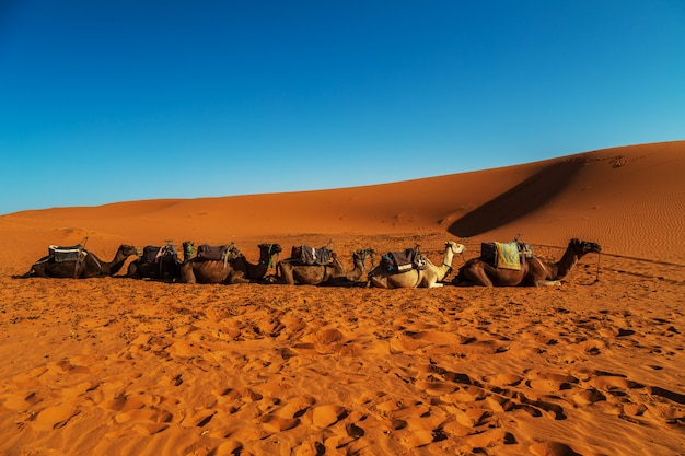 Camels are resting in the sahara desert.