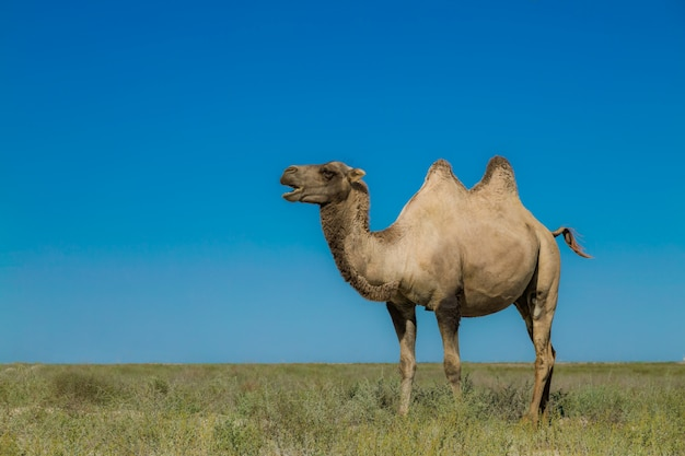 Camels in arid grassland, background is a beautiful blue sky