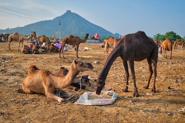 プシュカルメラでラクダプシュカルラクダフェア、インド