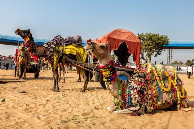 インドで毎年開催されるプシュカルラクダフェアでのラクダ