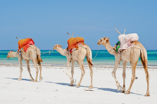 Camels by the ocean