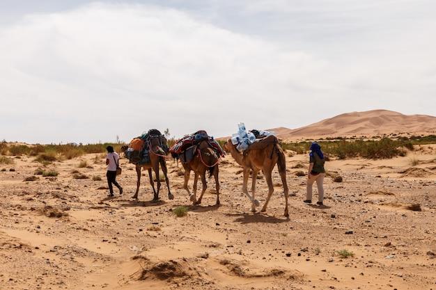 Camels caravan in the sahara desert