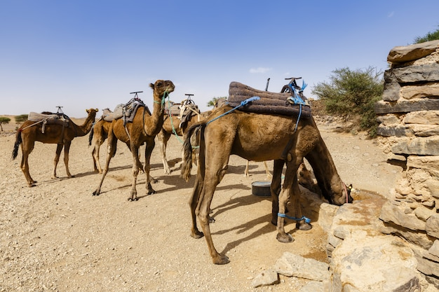 Camels drink water from a well in the sahara desert, morocco