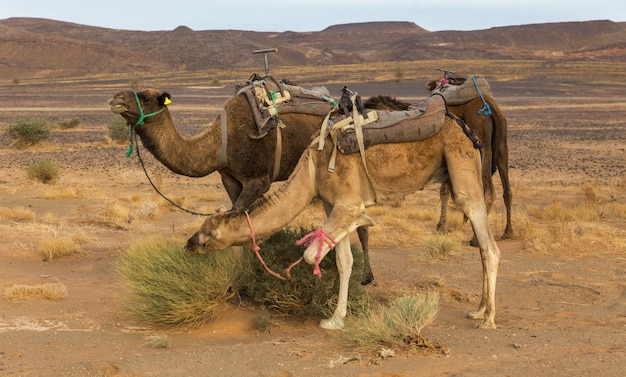 Camels eating the grass in sahara desert, morocco