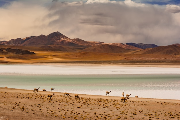 Camels grazing on the shores of the tuyajto lagoon in south american