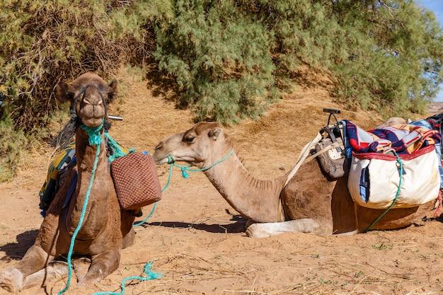 Camels lie in the sahara desert, morocco