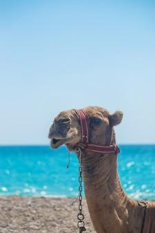 砂漠の海の海岸にいるラクダ。セレクティブフォーカス。自然。