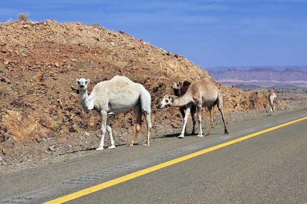 サウジアラビアの道路上のラクダ