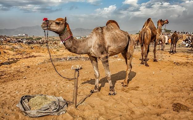 Camels at pushkar mela camel fair, india