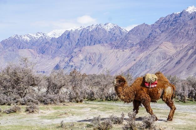 Сафари верблюдов в долине нубра, ладакх, индия