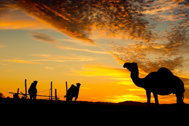 Camels silhouette in the desert