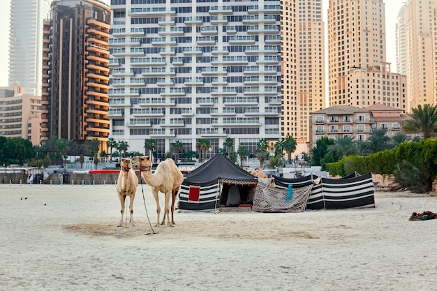 Camels stand on a beach with a bedouin tent and skyscrapers in the background in dubai