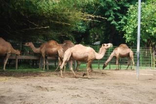 Camels in surabaya zoo, many