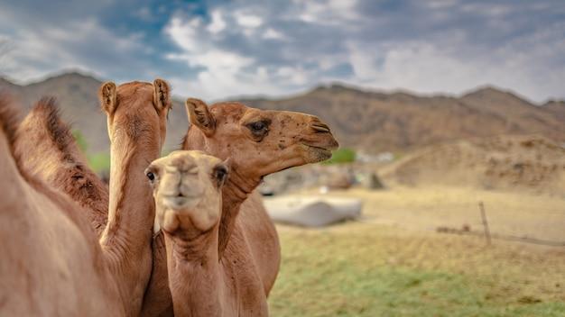 Camels with desert landscape