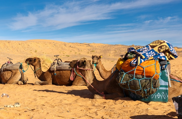 Camels with a load in the desert