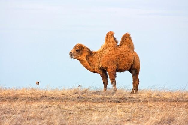Двугорбый верблюд или camelus bactrianus в степи