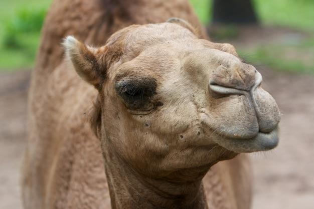 アラビアのラクダ(camelus dromedarius)